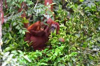 Орангутанги на Борнео очень любят фрукты