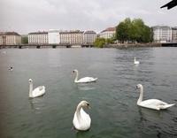 Лебеди Женевского озера
