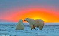 Белые медведи наблюдают за закатом на Аляске