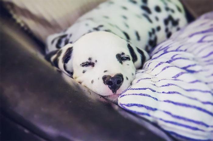 У далматинца Уайли сердце на носу и 120 тысяч поклонников в Instagram