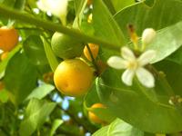 Цветение апельсинов