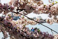 От Азии до Америки: 12 ярких фотографий о том, что весна наконец-то пришла