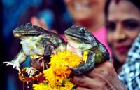 Зачем индийцы устраивают свадьбы лягушкам