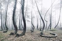 Ученые не знают, что с этими растениями! Таинственный лес из 400 изогнутых деревьев в Польше