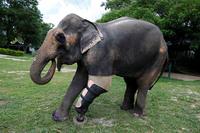 Слониха Моша подорвалась на мине, будучи совсем маленькой. Ее историю не забыть!