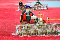 Сбор урожая клюквы в Ричмонде