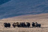 Овцебыки против белых медведей