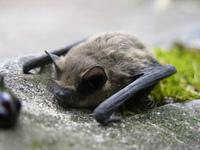 Питание летучей мыши