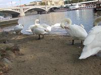 Лебеди на берегу Влтавы