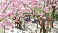 Сакура в ботаническом саду Будапешта