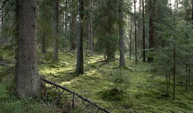 Хвойные леса занимают