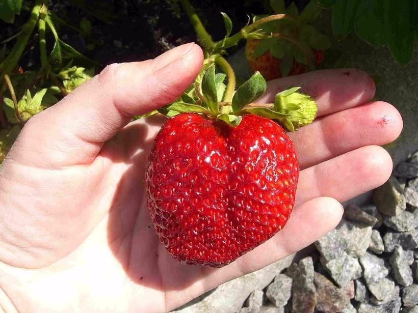 Вкуснейшая ягода