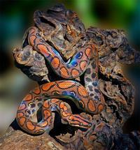 Радужный удав — самая очаровательная змея в мире