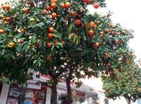 Аланья: вот такие деревья растут прямо на улице