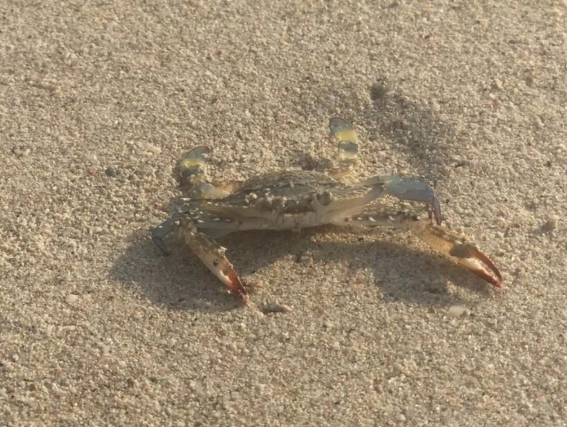 Кусачий пляжный крабик