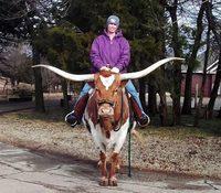 Техасский лонгхорн: обладатель самых длинных рогов в мире и скверного характера