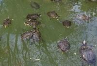 Пруд с черепахами в Национальном саду Афин