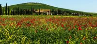 Июньские маки на холмах Валь д'Орча, Тоскана
