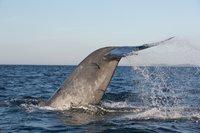 Наблюдение за китами у берегов Тринкомали, апрель 2018