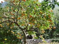 Апельсиновые деревья в Анталии