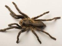 Ученые обнаружили тарантула с рогом на спине, и они не знают, что это за существо