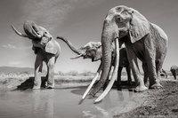 Королева слонов: фотограф снял уникальную слониху F_MU1 перед ее смертью