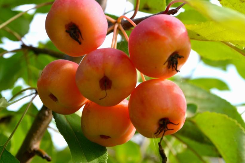 Почему Яблоновый хребет так назвали, ведь яблок здесь не больше, чем в других местах