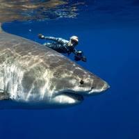 Пляски с акулами: невероятные подводные снимки Хуана Олифанта