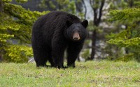 Черный медведь