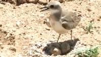 Видео: Птица пытается остановить трактор, приближающийся к ее кладке яиц