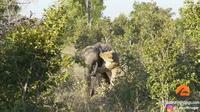 Видео: Львица в одиночку решила справиться со слоненком