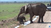 Видео: Слоненку нужно перейти маленький ручеек, но он слишком боится воды