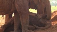 Слон укладывает спать слоненка — вся нежность и забота животного мира в одном видео