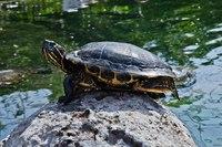 Черепахи оказались умнее, чем считалось — они сами могут влиять на свой будущий пол