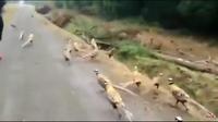 Преследующие девушку фазаны превратили ее пробежку в сцену из «Парка юрского периода»