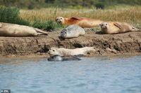 На берег Темзы спустя 70 лет вернулись тюлени