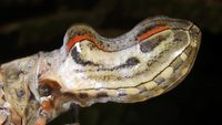 Видео: Летающий крокодил — удивительное насекомое, укравшее чужую внешность