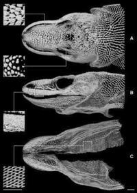 Это действительно дракон: оказалось, что комодские вараны имеют невидимый костный слой