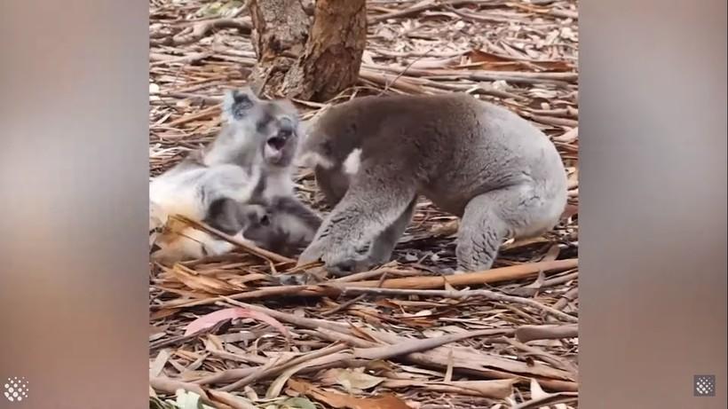 Безумная битва двух коал попала на видео в Австралии