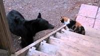 Видео: 5 самых удивительных случаев, когда кошки выступили против медведей и победили