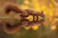 Фотограф ждал часами, чтобы запечатлеть осеннюю идиллию белок с орехами