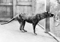 Уникальные снимки последних тилацинов ― сумчатых волков, исчезнувших по вине человека