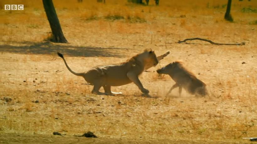 Видео: Тимон и Пумба — храбрый маленький кабан спас сурикатов от льва