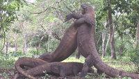 Как комодские драконы проводят ритуальные бои за самку