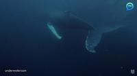 Видео: Дайвер чуть было не угодил в пасть к киту