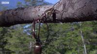 Чудесный ролик от ВВС: жук-олень неожиданно сбрасывает подружку с дерева