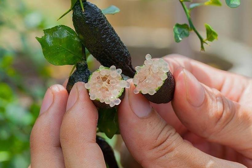 Пальчиковый лайм: как выглядит редкая и очень дорогая икра из цитрусовых