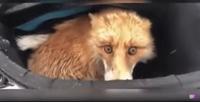 Видео: Лису нашли в рыбачьей сумке, когда она уже съела почти всю рыбу