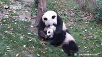 Видео: Панда, которая носит своего медвежонка с самого рождения одним и тем же образом