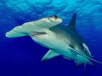 Кто быстрее — акулы или олимпийский чемпион по плаванию